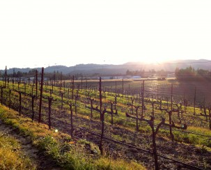 The sun sets on the Sullivan vineyard outside Mazzocco at the end of what was labeled Winter WINEland but could as easily have been called the T-Shrt weather WINEland.